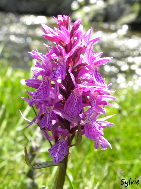 orchidee-alpes