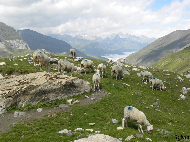 moutons-pyrenees